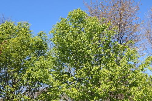 芝置屋根のアトリエ:新緑のブナ_e0054299_09493244.jpg