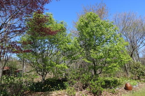 芝置屋根のアトリエ:新緑のブナ_e0054299_09513388.jpg