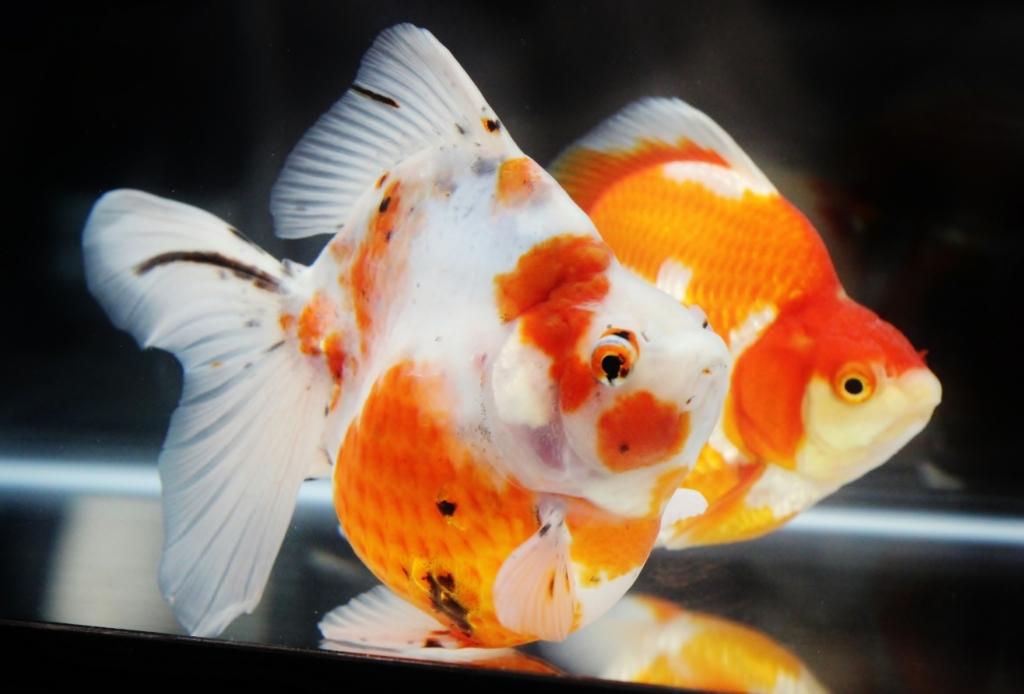 観賞魚フェア(2017)、一眼レフ画像。_b0298605_02510357.jpg
