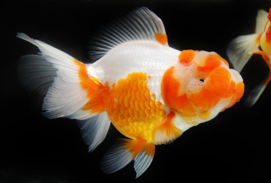 観賞魚フェア(2017)、一眼レフ画像。_b0298605_02510590.jpg