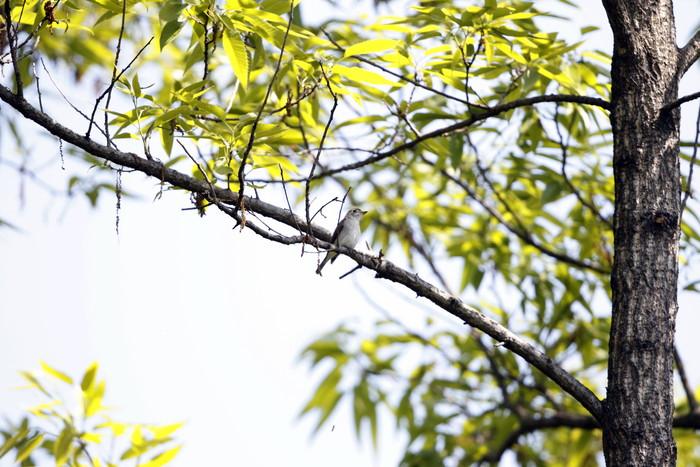MFの森でコサメビタキに出会う_f0239515_20324856.jpg