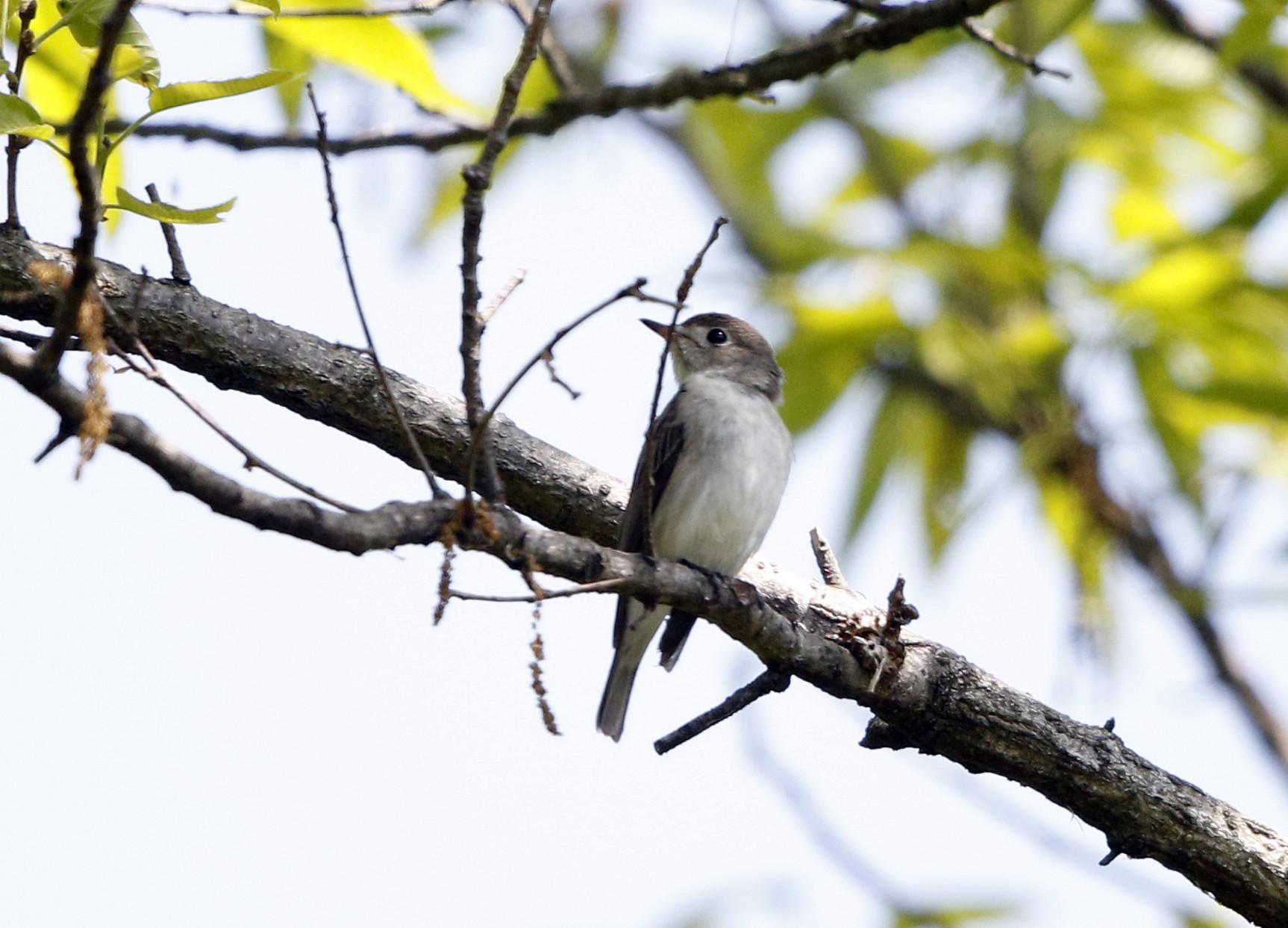 MFの森でコサメビタキに出会う_f0239515_20341423.jpg