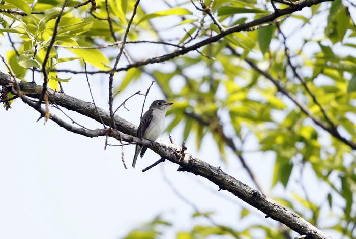 MFの森でコサメビタキに出会う_f0239515_20343749.jpg