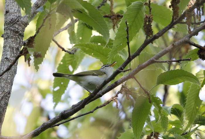 MFの森でコサメビタキに出会う_f0239515_20413599.jpg