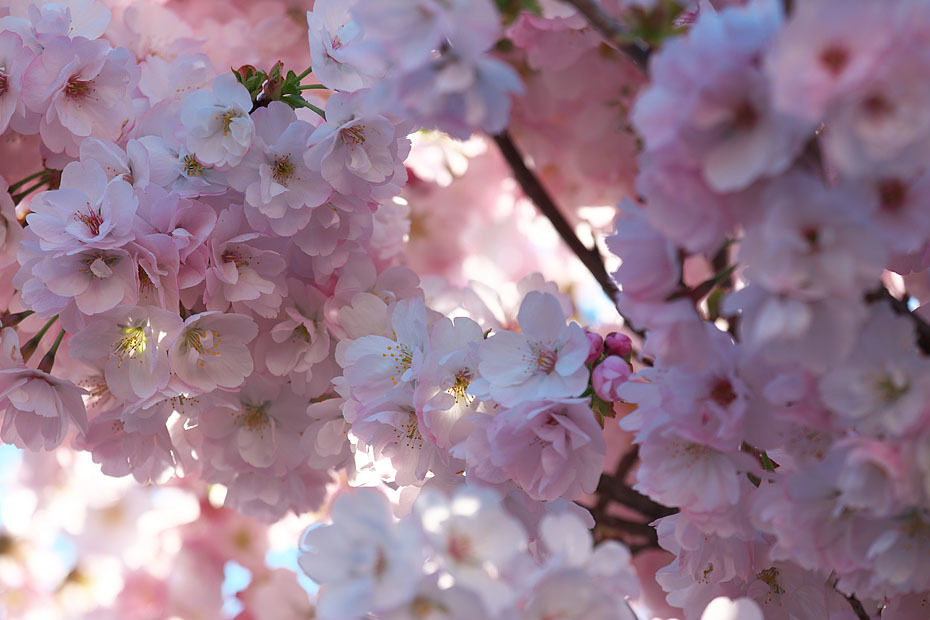GW 桜まつり'17 #3_c0067040_22300496.jpg