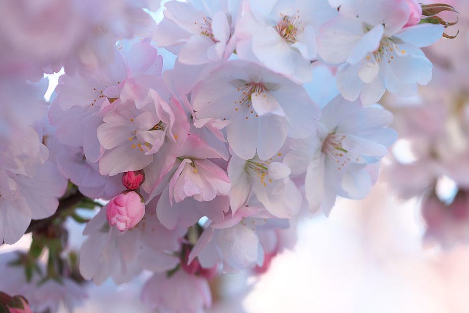 GW 桜まつり'17 #3_c0067040_22302388.jpg