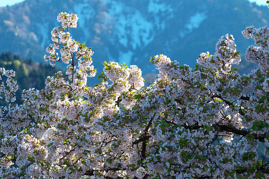 GW 桜まつり'17 #3_c0067040_22303392.jpg