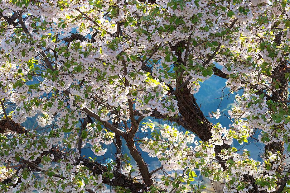 GW 桜まつり'17 #3_c0067040_22304210.jpg