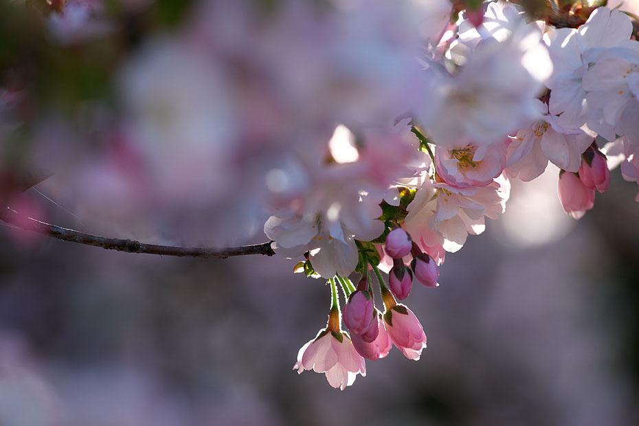 GW 桜まつり'17 #3_c0067040_22311870.jpg