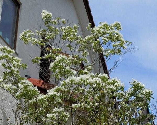 路傍の花、樹々の鳥(161) ~ ちょっと馴染みのない名前かも知れませんが ~_b0102572_2057207.jpg