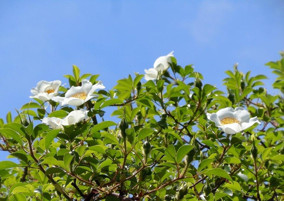 路傍の花、樹々の鳥(161) ~ ちょっと馴染みのない名前かも知れませんが ~_b0102572_205737.jpg