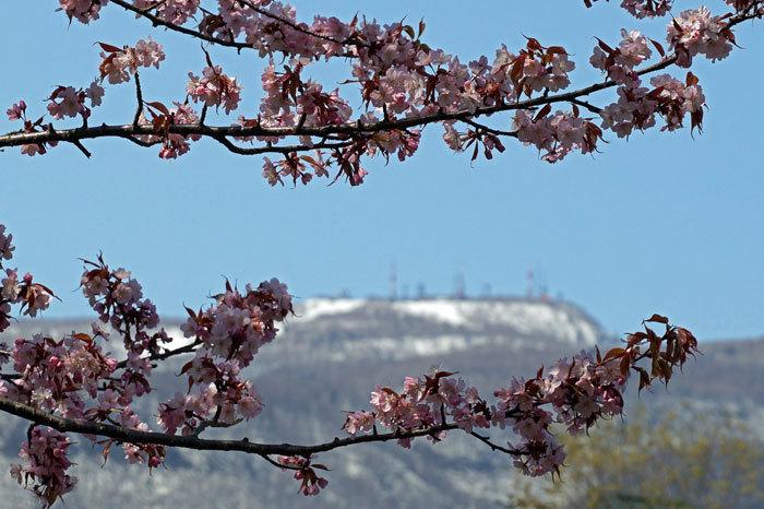 桜・山サクラ_d0162994_08352306.jpg