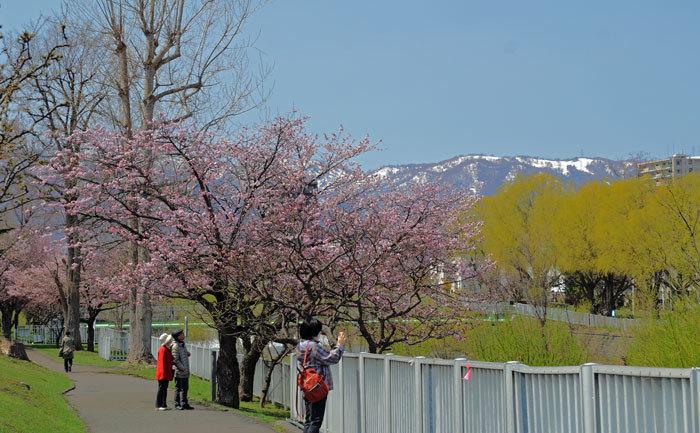 桜・山サクラ_d0162994_08405370.jpg