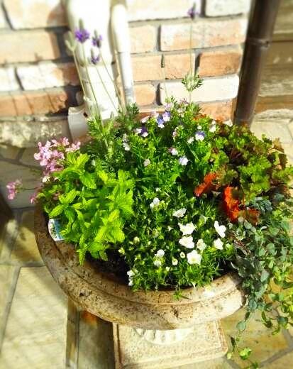 春夏用花の入れ替え ハーブも少し(^^♪_f0116297_16495360.jpg
