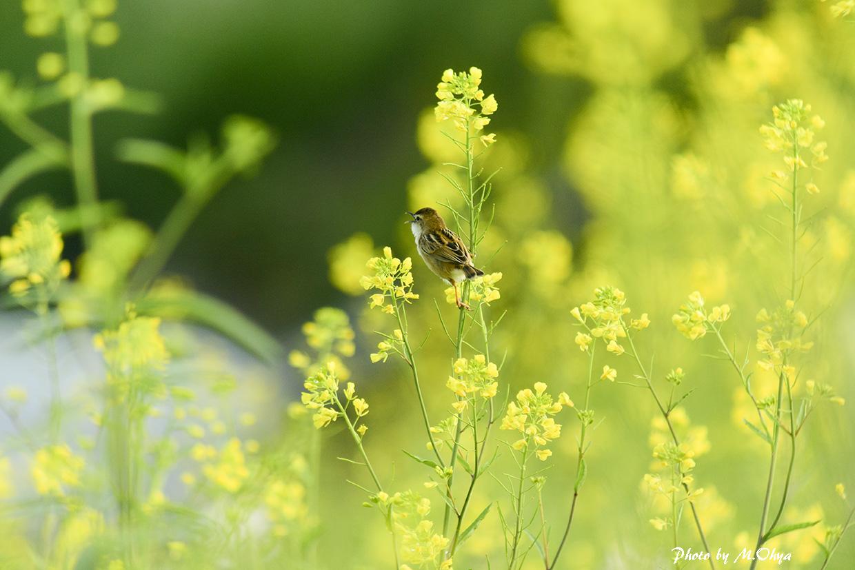 菜の花とセッカ_f0003418_1055182.jpg