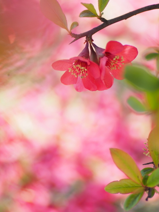 木瓜の花_e0169421_14585676.jpg