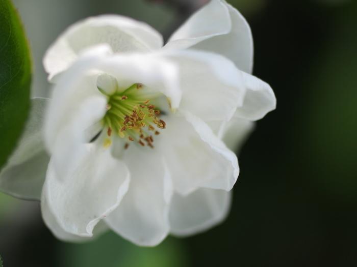 木瓜の花_e0169421_14591842.jpg