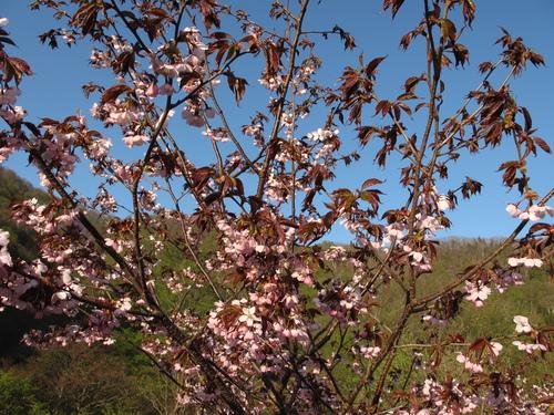 桜が咲きました_f0192924_15375189.jpg