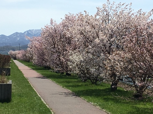 手稲の桜と形見の着物_e0326953_23003985.jpg