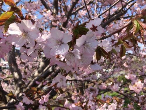 手稲の桜と形見の着物_e0326953_23013145.jpg