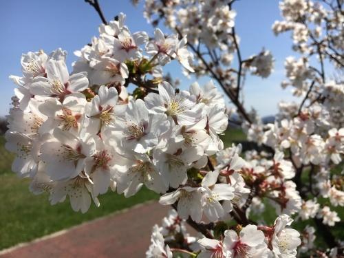 手稲の桜と形見の着物_e0326953_23015233.jpg