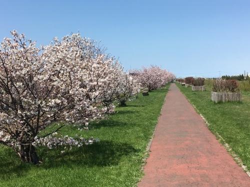 手稲の桜と形見の着物_e0326953_23021424.jpg