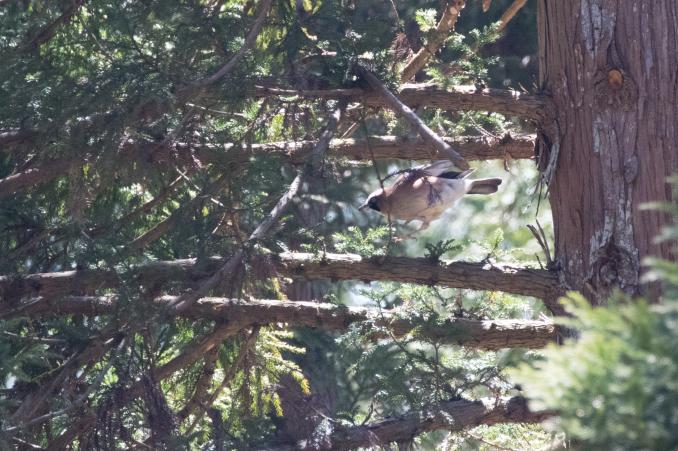 杉の枝を登るカケス_b0148762_18174688.jpg