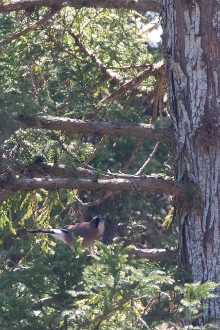 杉の枝を登るカケス_b0148762_18183700.jpg
