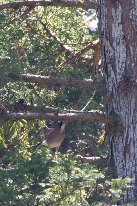 杉の枝を登るカケス_b0148762_18184178.jpg