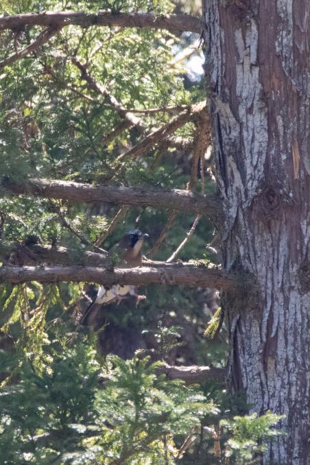 杉の枝を登るカケス_b0148762_18184590.jpg