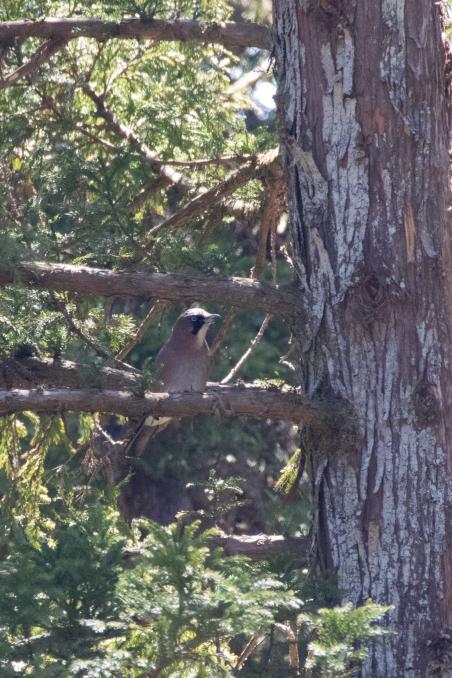 杉の枝を登るカケス_b0148762_18185045.jpg