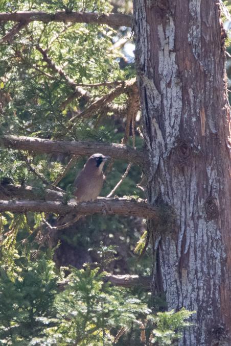 杉の枝を登るカケス_b0148762_18185453.jpg