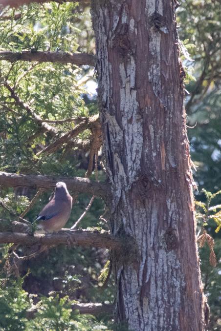 杉の枝を登るカケス_b0148762_18190331.jpg