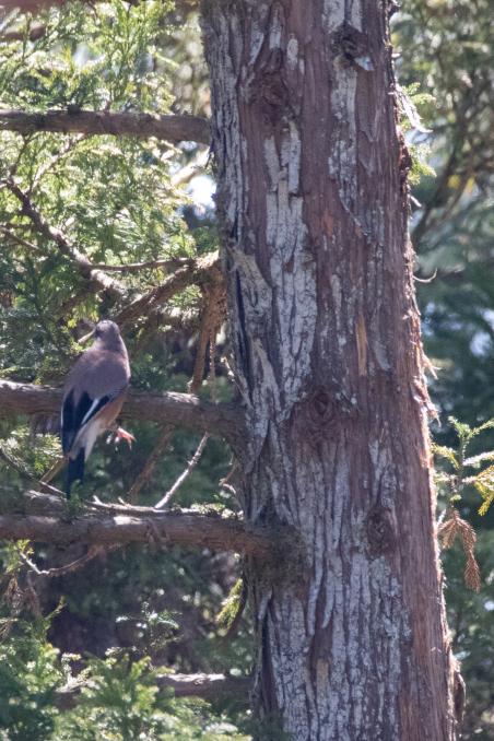 杉の枝を登るカケス_b0148762_18190836.jpg