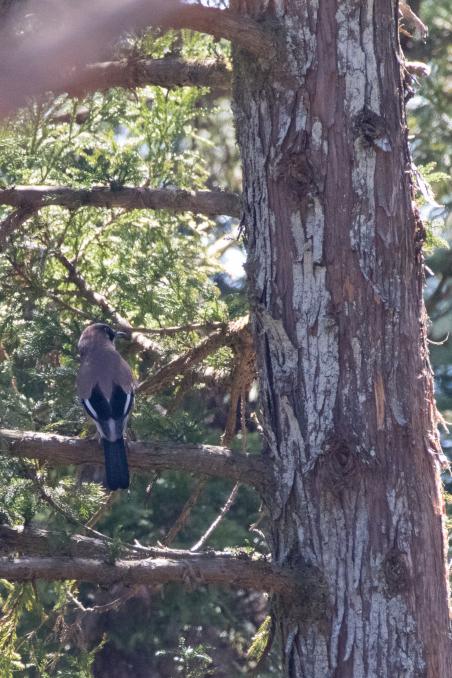 杉の枝を登るカケス_b0148762_18191416.jpg