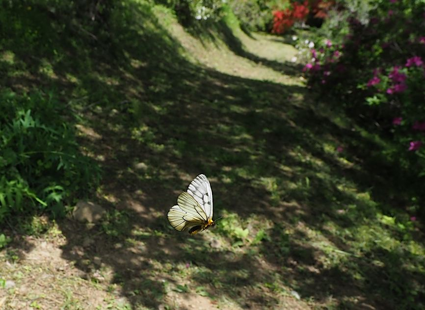 ウスバシロチョウ&サカハチチョウ今季初撮り(2017年5月3日) _d0303129_245046.jpg