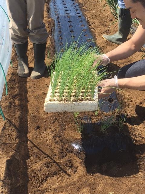 今朝は長葱とリーキの仮植です本日も沢山の畑ボランティアの方々 ありがとうございます_c0222448_11340654.jpg