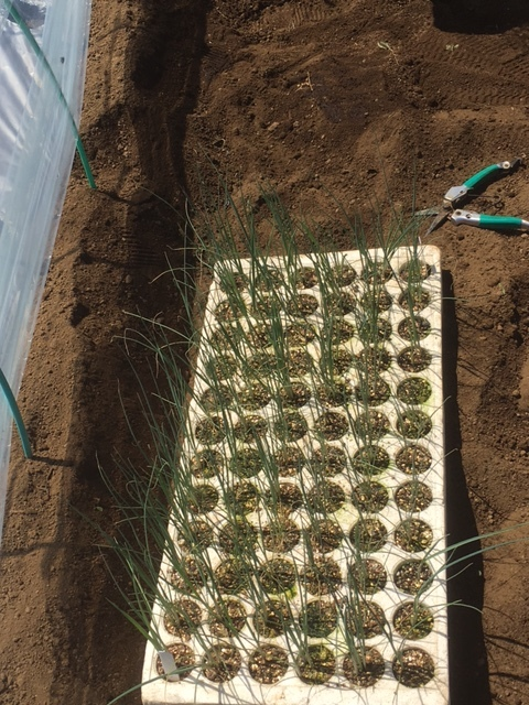 今朝は長葱とリーキの仮植です本日も沢山の畑ボランティアの方々 ありがとうございます_c0222448_11342450.jpg