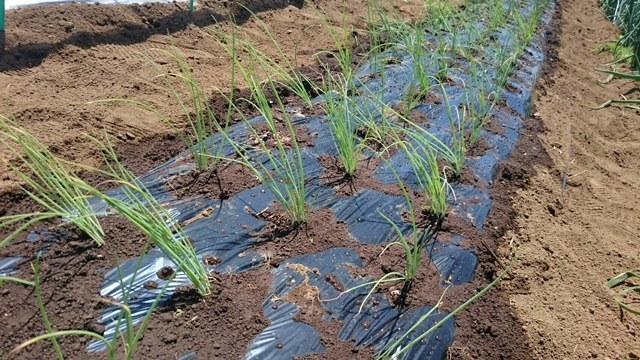 今朝は長葱とリーキの仮植です本日も沢山の畑ボランティアの方々 ありがとうございます_c0222448_11370407.jpg