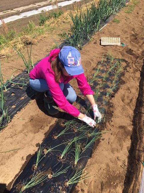 今朝は長葱とリーキの仮植です本日も沢山の畑ボランティアの方々 ありがとうございます_c0222448_11372611.jpg