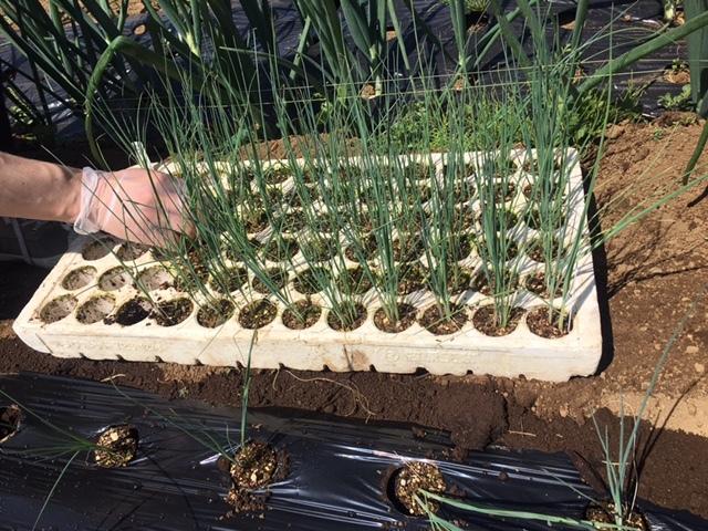今朝は長葱とリーキの仮植です本日も沢山の畑ボランティアの方々 ありがとうございます_c0222448_11381871.jpg