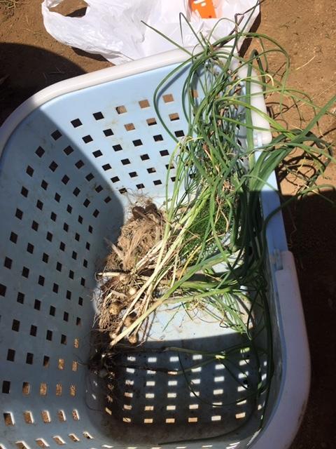 今朝は長葱とリーキの仮植です本日も沢山の畑ボランティアの方々 ありがとうございます_c0222448_11385087.jpg