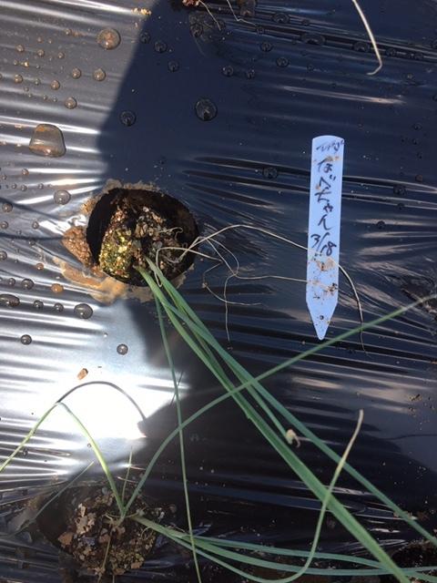 今朝は長葱とリーキの仮植です本日も沢山の畑ボランティアの方々 ありがとうございます_c0222448_11390282.jpg