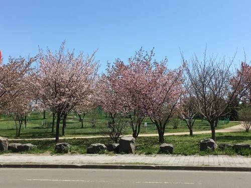 「白石こころーど」の桜と野球観戦_e0326953_21093852.jpg