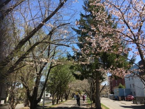 「白石こころーど」の桜と野球観戦_e0326953_21181293.jpg