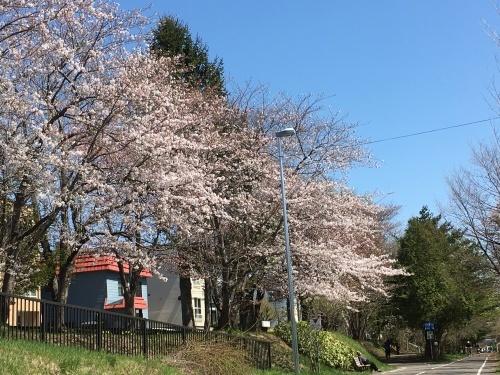 「白石こころーど」の桜と野球観戦_e0326953_21235895.jpg