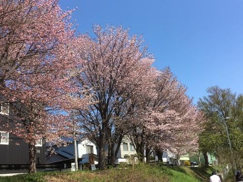 「白石こころーど」の桜と野球観戦_e0326953_21242294.jpg