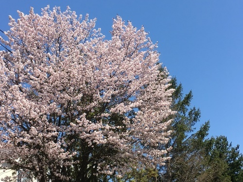 「白石こころーど」の桜と野球観戦_e0326953_21284790.jpg