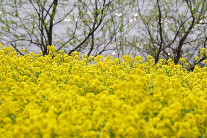 水辺の菜の花_e0169421_20451796.jpg