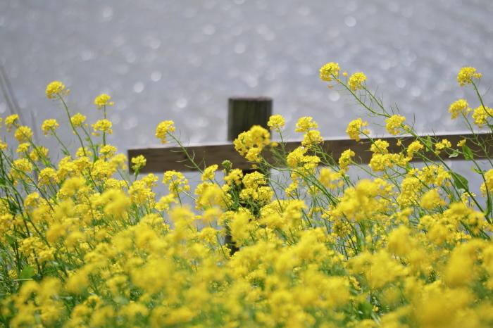 水辺の菜の花_e0169421_20451839.jpg
